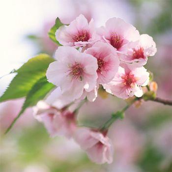 Cherry Blossom (type)