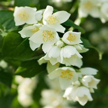 Sweet Jasmine Vine