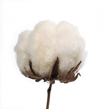 Vanilla Cotton
