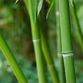 Verbena Bamboo