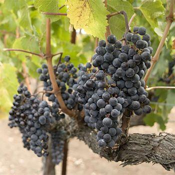 Vineyard (type)