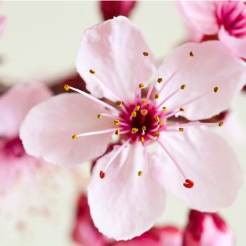 Japanese Cherry Blossom (type)