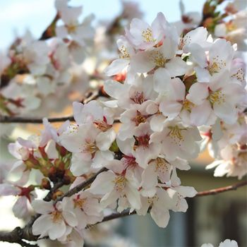 White Cherry Blossom (type)