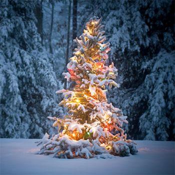 White Christmas (type)